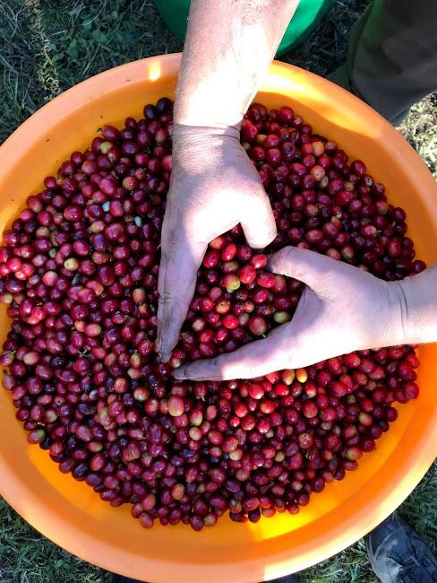 Red cherries Gosling Coffee